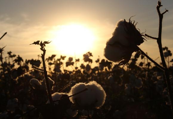 Lamento de un campo de algodón
