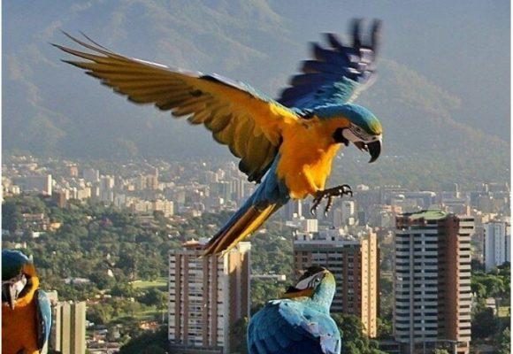 Las guacamayas aún vuelan en Caracas
