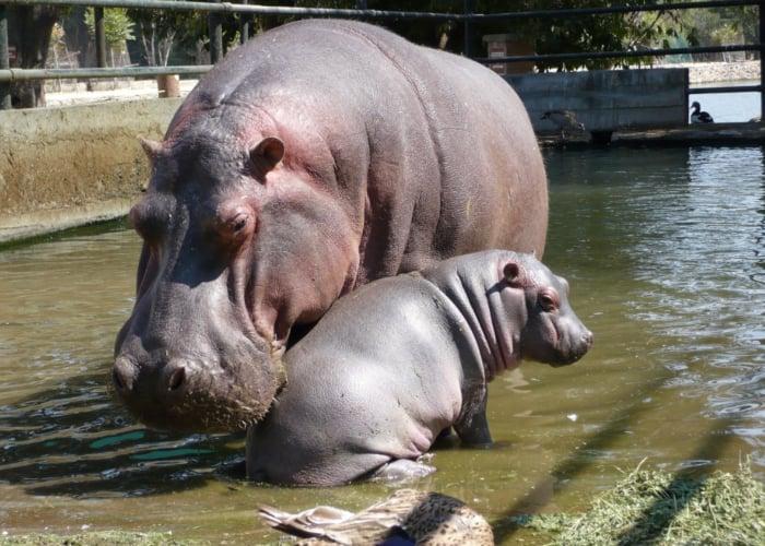 Sobre la matanza de los hipopótamos de Pablo Escobar