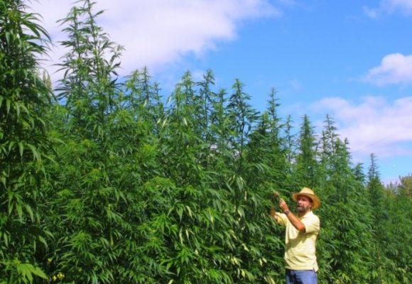 Marihuana, ¿una solución para la crisis económica que se viene?