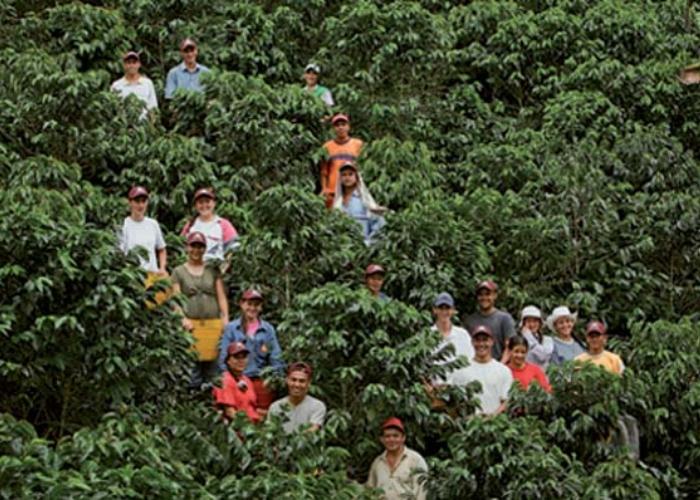 El peligro de la cosecha cafetera