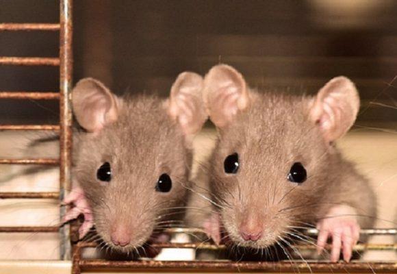 ¿Y estas ratas de alcantarilla qué?