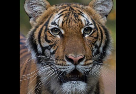 El tigre del zoológico de Nueva York que dio positivo para Coronavirus