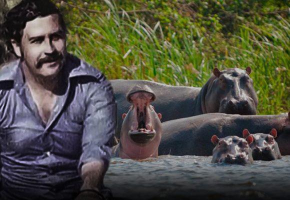 El brutal ataque de uno de los hipopotamos de Pablo Escobar a un campesino en Antioquia