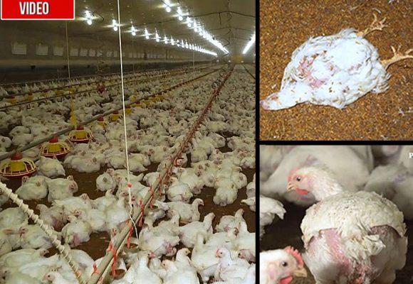 Pollos vueltos una fábrica de carne para vender por kilos