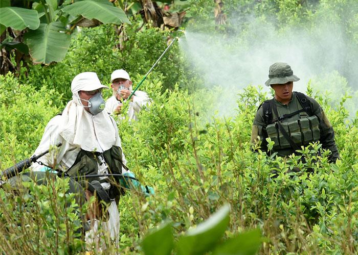 Frenazo de Tribunal Administrativo a erradicación forzada en el Cauca