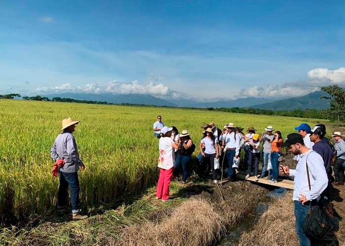 Arroceros del Tolima esperan que la última cosecha del año genere ingresos por más de $1.5 billones de pesos