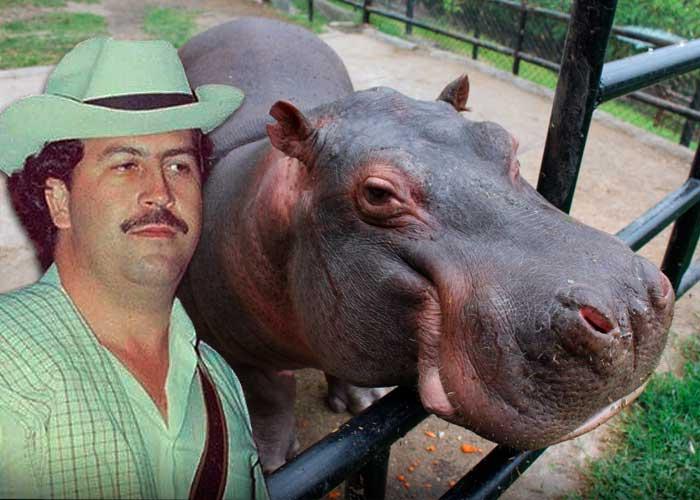 El hipopótamo de Pablo Escobar que resucitó el zoológico Santa Cruz