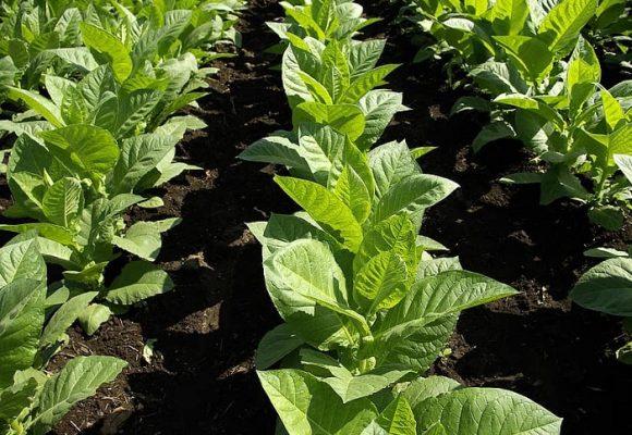 Tabaco, otro cadáver de la agricultura nacional