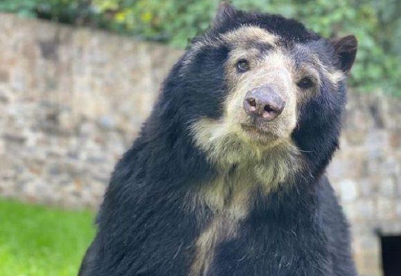 El oso de anteojos más longevo de Colombia se encuentra en el Zoológico Santacruz