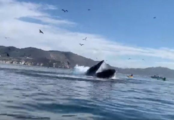 ¡Que susto!: ballena jorobada casi se traga a 2 mujeres en kayak. VIDEO