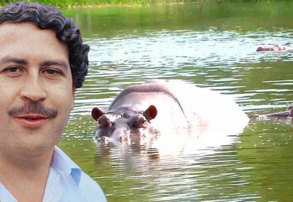 Matar a los hipopotamos de Escobar: la única solución que ven los científicos
