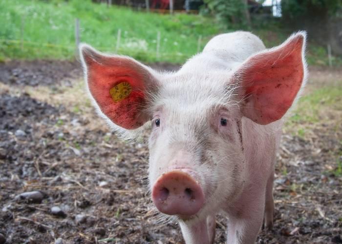 El vilipendiado cerdo