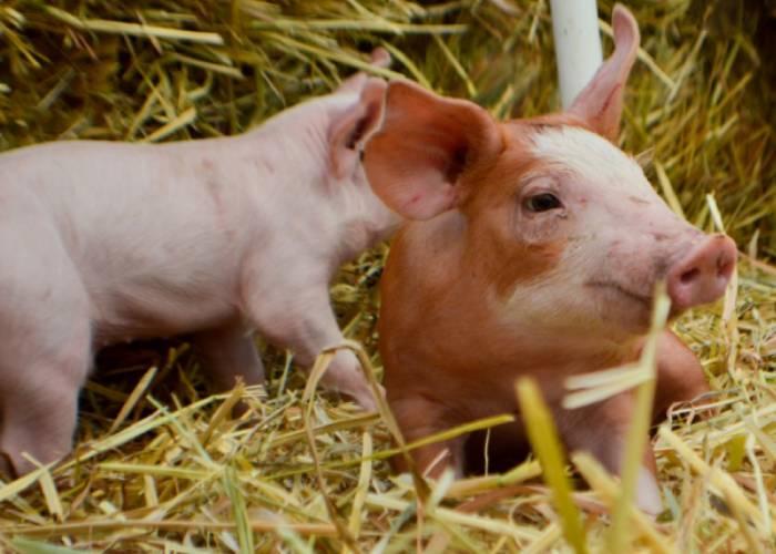 No compares a los cerdos con políticos