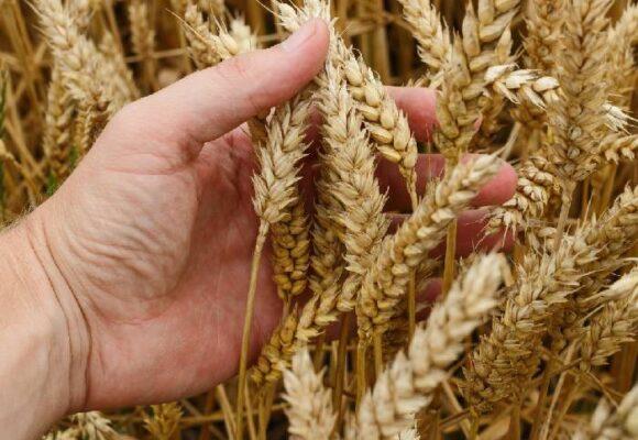 Separar el trigo de la cizaña