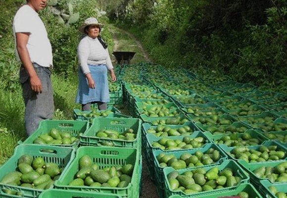 Aguacateros peruanos ponen el ojo en Colombia