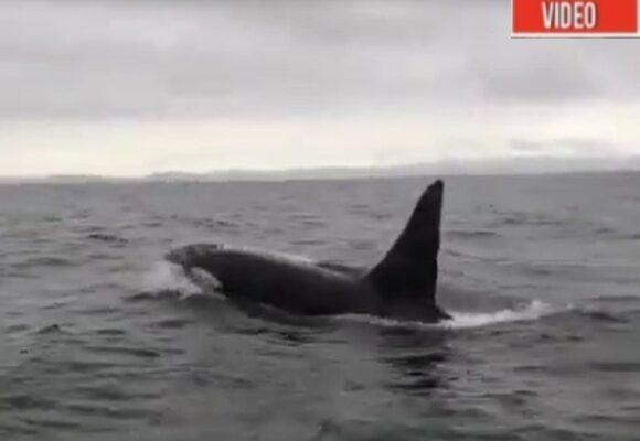 Espectacular: avistamiento de ballenas orcas en el Golfo de Tribugá. VIDEO