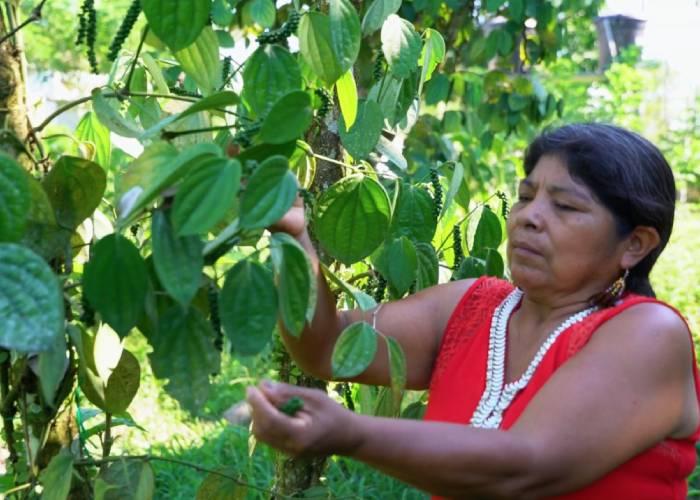 Campesinos del Putumayo reemplazan la hoja de coca por pimientas exóticas