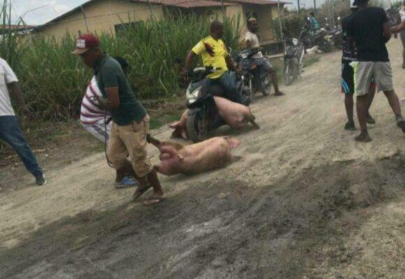 El brutal saqueo de 3 mil cerdos en una finca en el Valle
