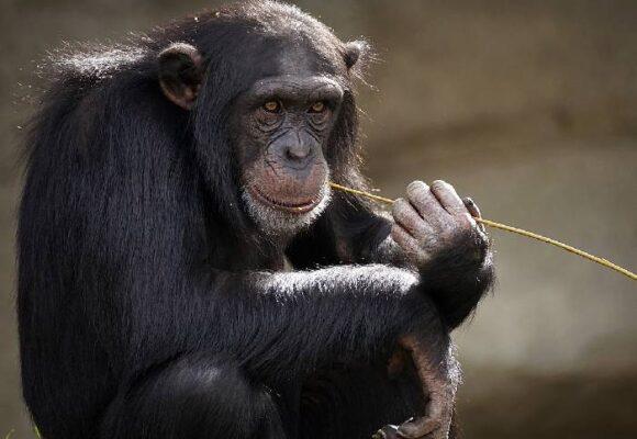 Gobernante chimpancé