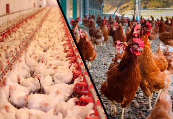 Las gallinas ponedoras más valiosas del país: sus huevos valen oro