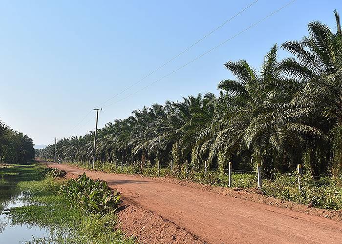 La palma que se roba el agua en Maríalabaja